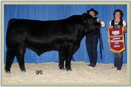 DVE Davidson Moneyman 86Y winning the Junior Champion Bull at FarmFair 2012.